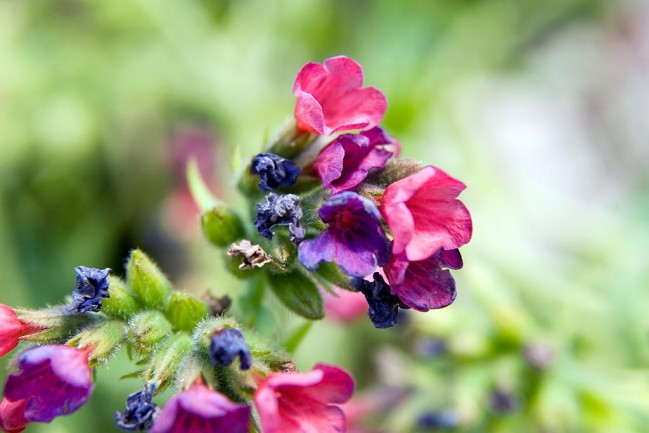 Pulmonaria Raspberry Splash