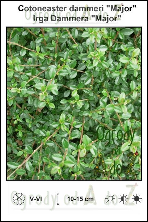 Cotoneaster-dammeri-Major.jpg