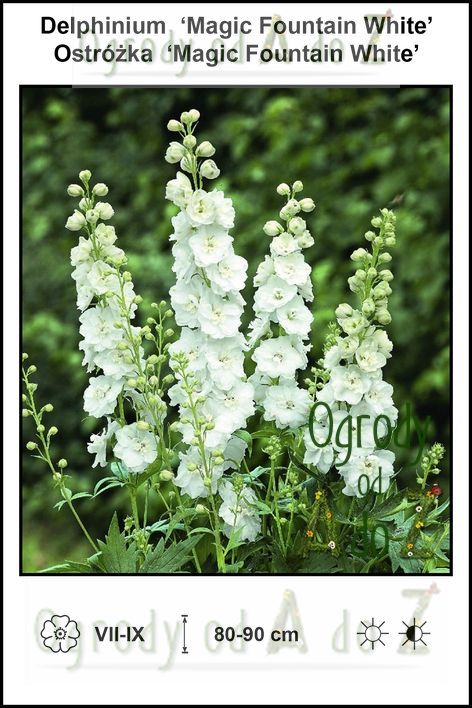 Delphinium-Magic-Fountain-White.jpg