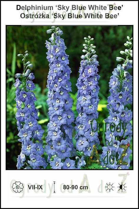 Delphinium-Sky-Blue-White-Bee.jpg