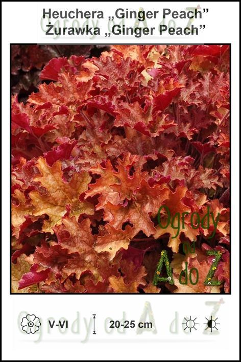 Heuchera-Ginger-Peach.jpg