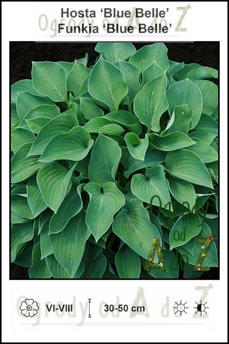 Hosta-Blue-Belle.jpg