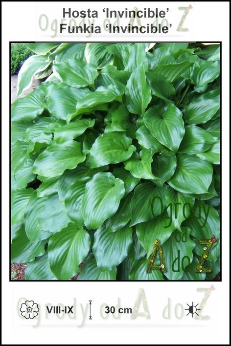 Hosta-Invincible.jpg