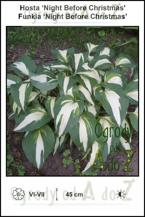 Hosta-Night-Before-Christmas.jpg
