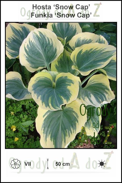 Hosta-Snow-Cap.jpg