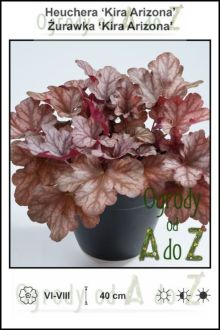 Heuchera-Kira-Arizona.jpg