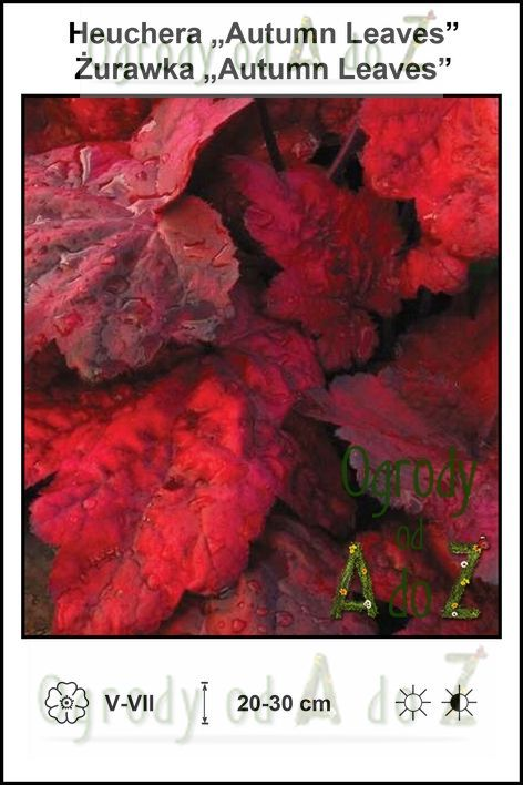 Heuchera-Autumn-Leaves.jpg