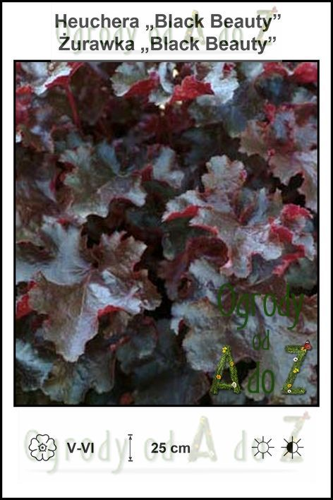 Heuchera-Black-Beauty.jpg