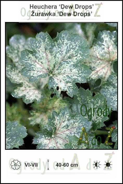 Heuchera-Dew-Drops.jpg