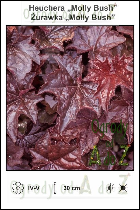 Heuchera-Molly-Bush.jpg