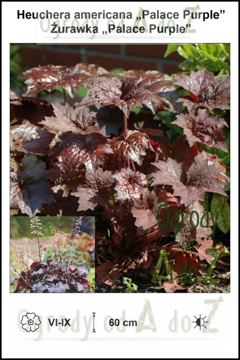 Heuchera-americana-Palace-Purple.jpg