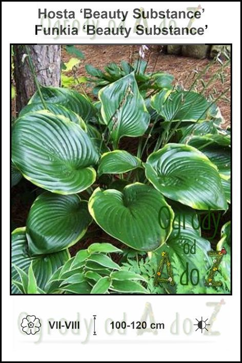 Hosta-Beauty-Substance.jpg