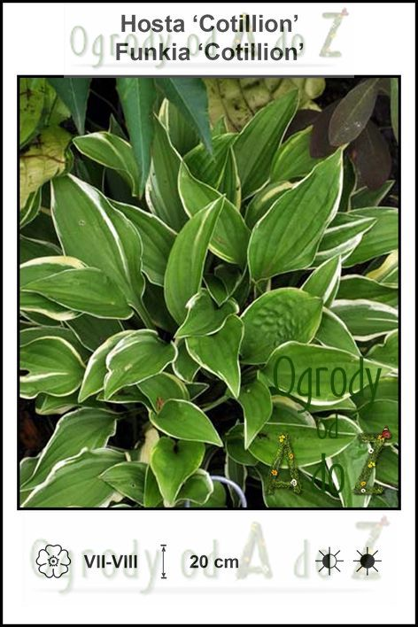 Hosta-Cotillion.jpg