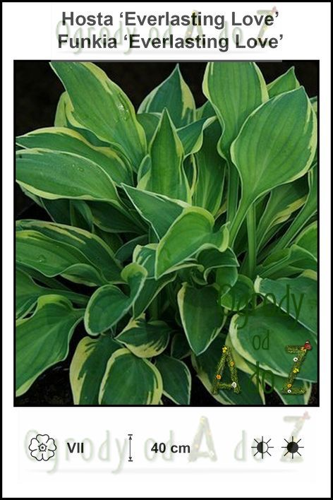 Hosta-Everlasting-Love.jpg