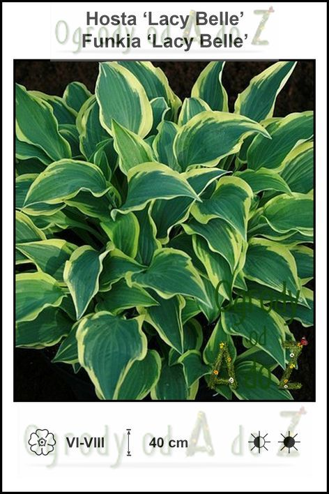 Hosta-Lacy-Belle.jpg