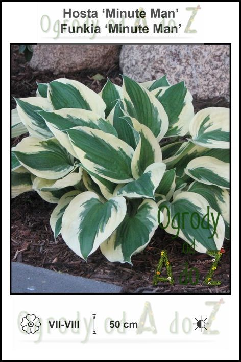 Hosta-Minute-Man.jpg