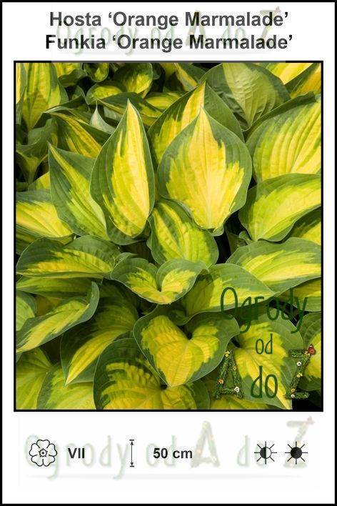 Hosta-Orange-Marmalade.jpg