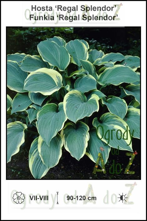 Hosta-Regal-Splendor.jpg