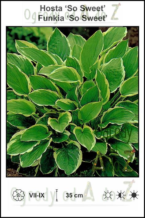 Hosta-So-Sweet.jpg