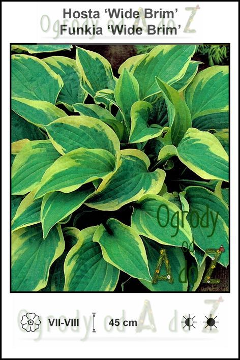 Hosta-Wide-Brim.jpg