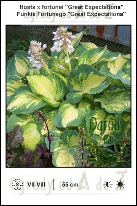 Hosta-x-fortunei-Great-Expectations.jpg