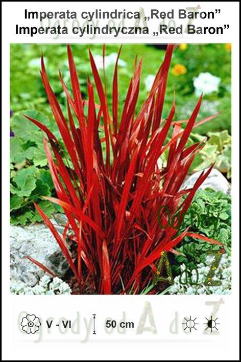 Imperata-cylindrica-Red-Baron.jpg