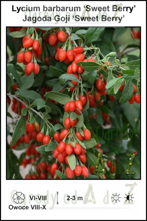 Lycium-barbarum-Sweet-Berry.jpg