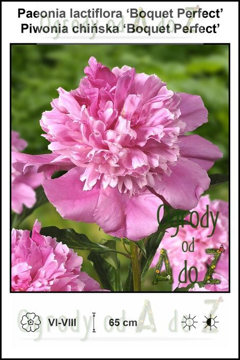 Paeonia-lactiflora-Boquet-Perfect.jpg