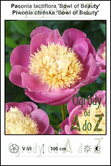 Paeonia-lactiflora-Bowl-of-Beauty.jpg
