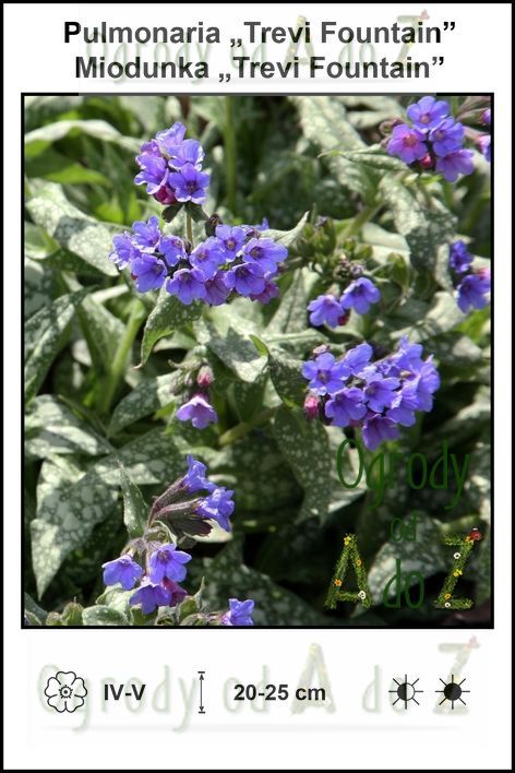 Pulmonaria-Trevi-Fountain.jpg