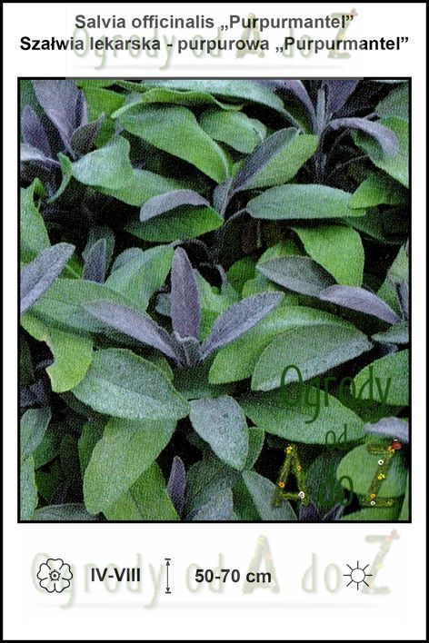 Salvia-officinalis-Purpurmantel.jpg