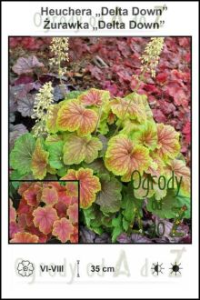 Heuchera-Delta-Down.jpg