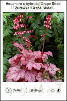 Heuchera-x-hybrida-Grape-Soda.jpg