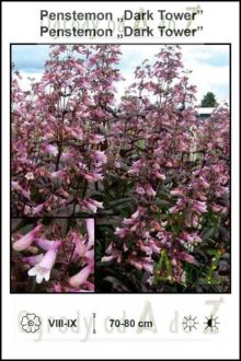 Penstemon-Dark-Tower.jpg