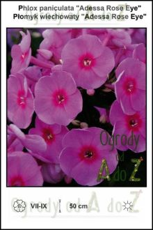 Phlox-paniculata-Adess-Rose-Eye.jpg